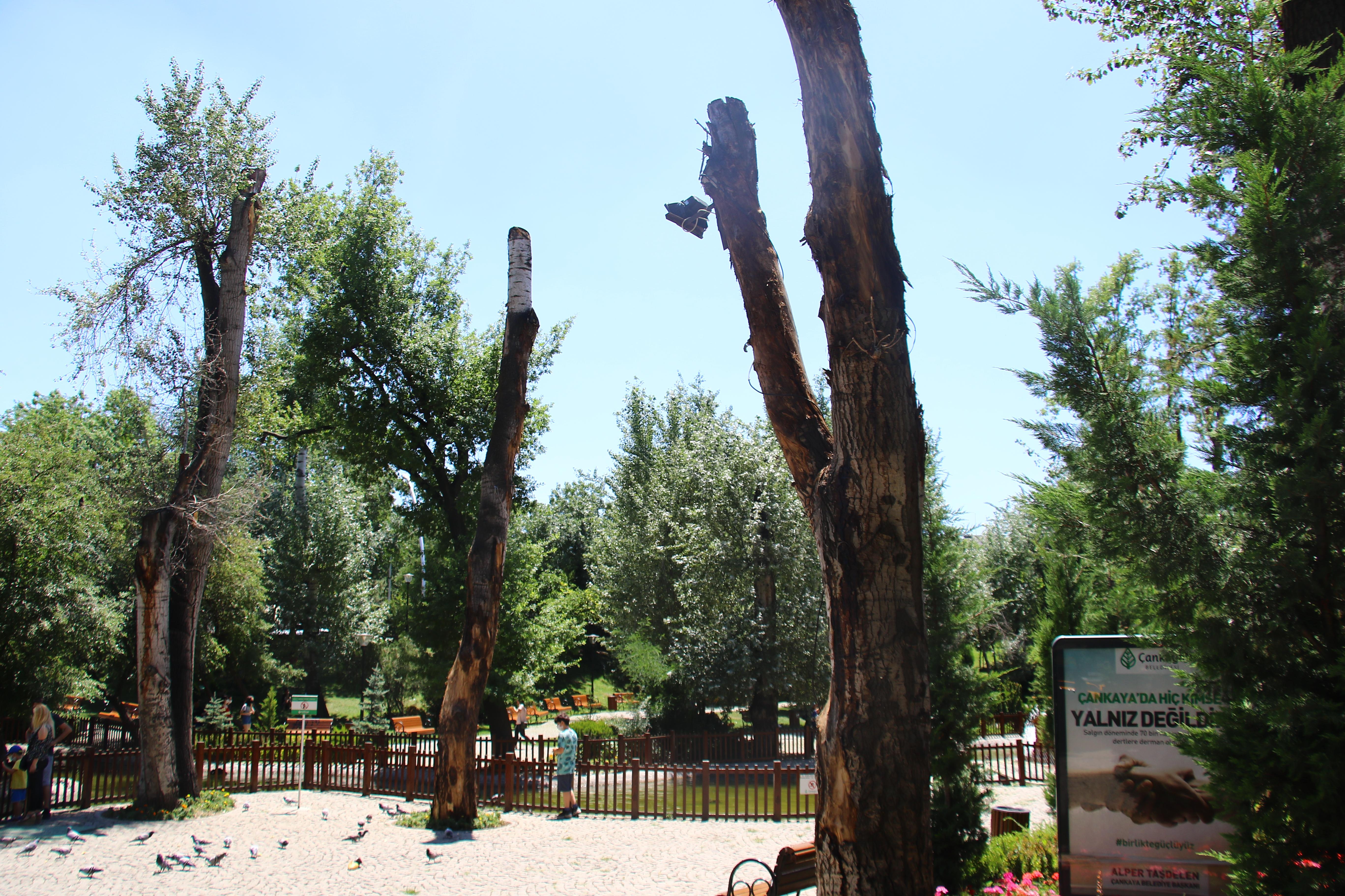 """""""Kuğulu Park'ta 'budanan' ağaçlar bir daha yeşermeyecek"""""""