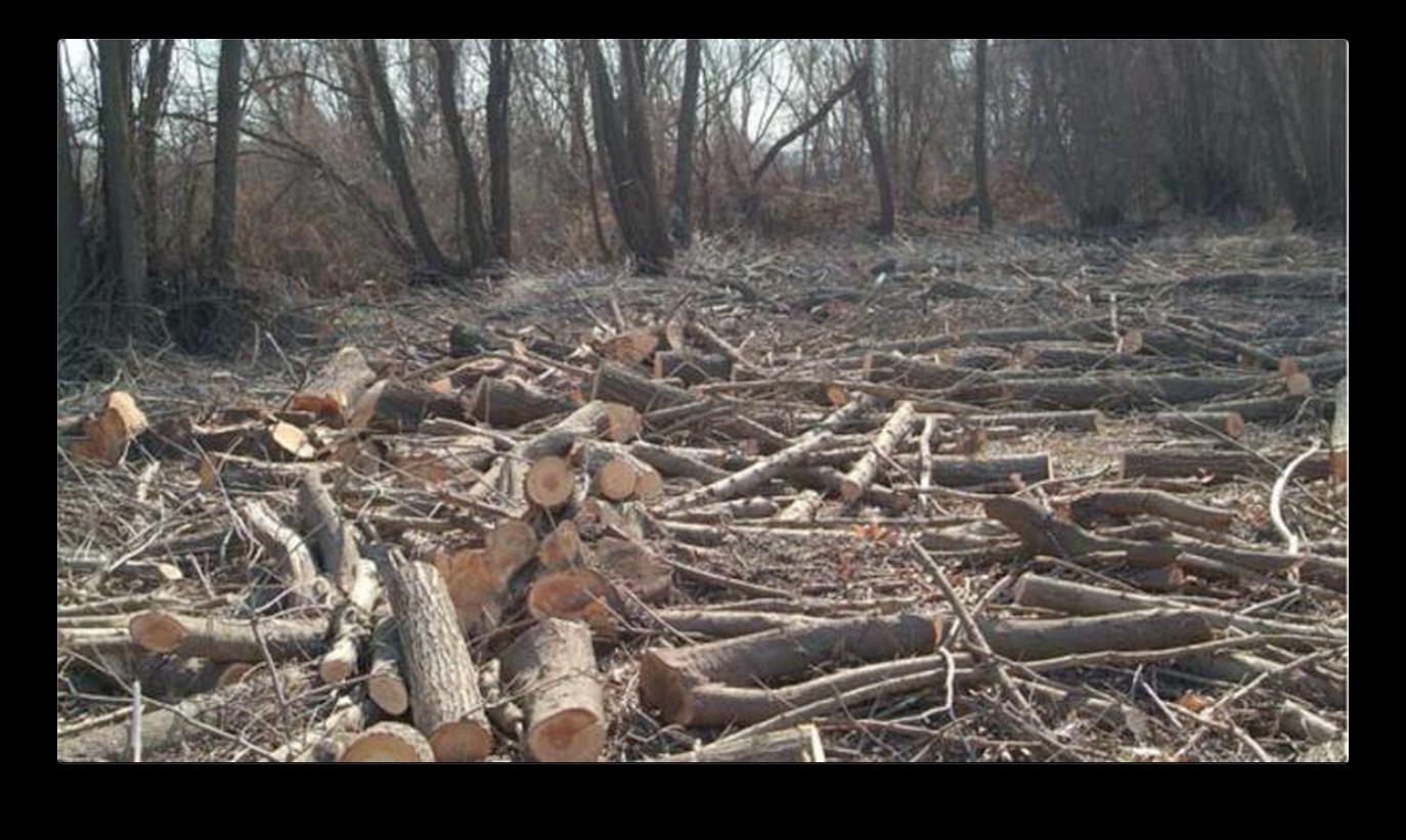 Muğla'da Virüs Bahanesiyle Orman Katliamı